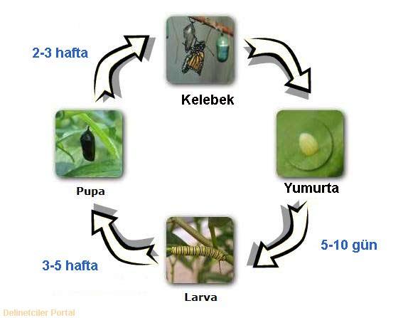 Kelebek Yasam Dongusu