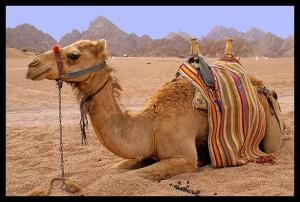 Muaviye ve deve hikayesi
